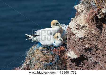 Northern Gannets sitting at their nests made of pieces of fishermen nets at red cliffs of Helgoland
