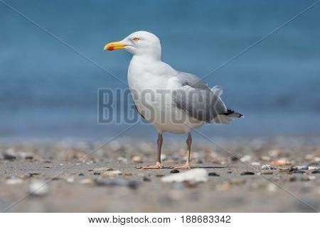 Herring gull at beach of German island Dune near Helgoland in the Northsea