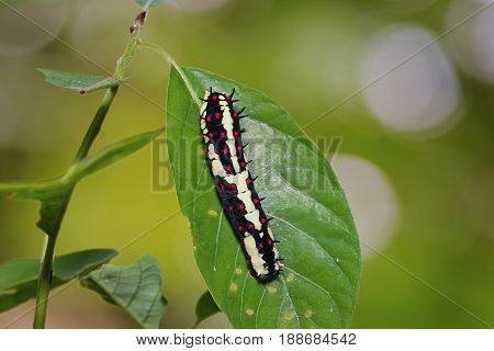 Common Mime (papilio Clytia) Caterpillar