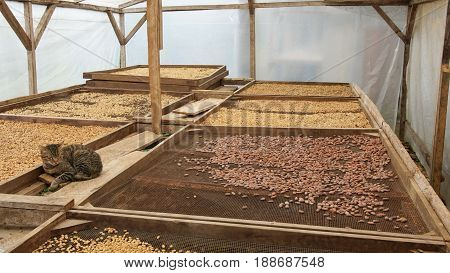 Drying of cocoa and coffee beans, Sao Tome and Principe, Africa