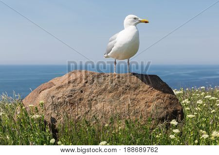 Herring gull resting on big stone at German island Helgoland in the Northsea