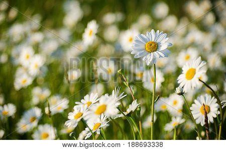 Soft White Daisies Bloom In Summer