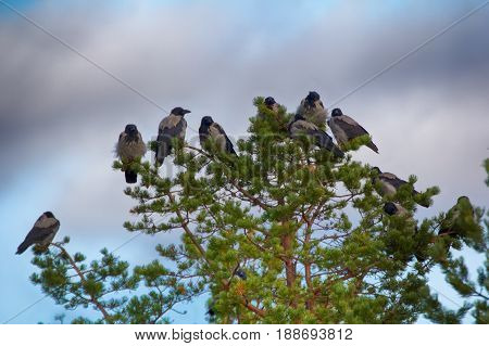 Flock Of Crows Resting In Crown Of Pine