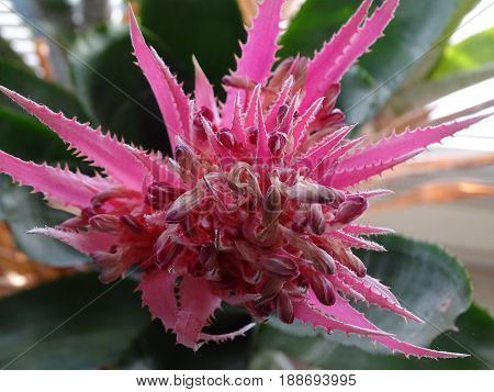 spikey pink bromeliad flower reaching for the sunshine