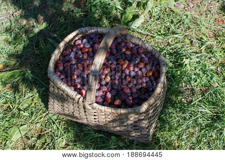 Plum in a wicker basket. Ripe plums. Organic Plums in basket on the summer grass.
