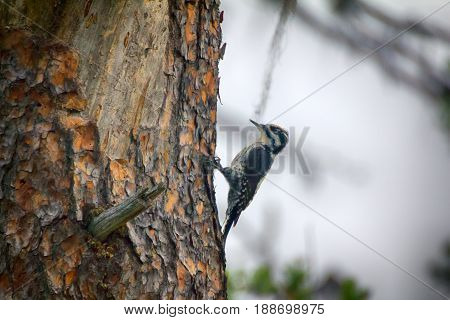 Three-toed Woodpecker (picoides Tridactylus) - Typical Species Of Taiga