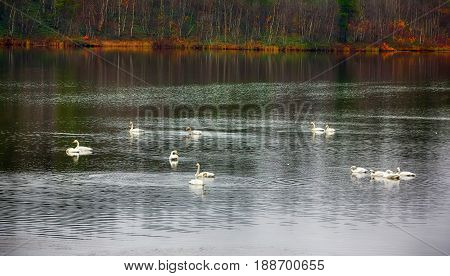 Migrating Whooping Swans Stopped For Rest And Feeding On River