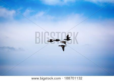 Ducks Black Scoter (melanitta Nigra)