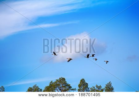 Forest-breeding Bean Goose - Flock Over Forest.