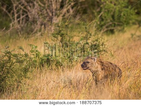 Spotted Hyena At The Kruger National Park, South Africa