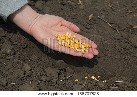 Human hand holding corn seed sowing time in field