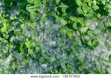Cottonwood seeds form a misty coating on top of the fresh clover.