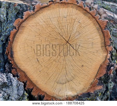 A complete cross section of a cross section of an old oak log is shown.