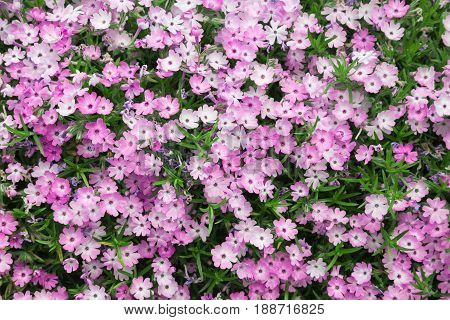 Pink creeping phlox a colorful addition to any garden.