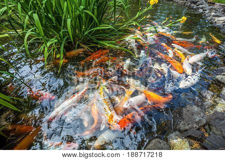 Japan fish call Carp or Koi fish colorful Many fishes many color swimming in the pond Batumi Georgia.