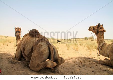 Camels Hanging Out In The Indian Desert.