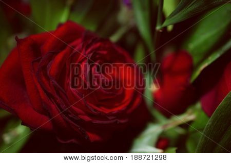One Flower Of Scarlet Rose
