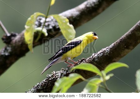 Yellow gold finch sitting on a limb with its body parallel to the limb and another limb
