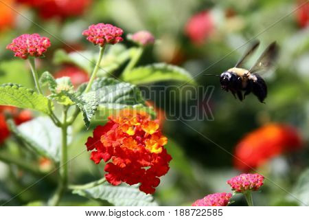Bumblebee hovering over orange and pink flowers