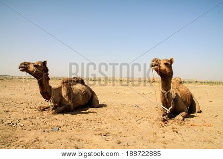 Camels Sitting Down In The Indian Desert.