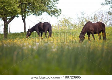 Beautiful Horses on meadow full of flowers