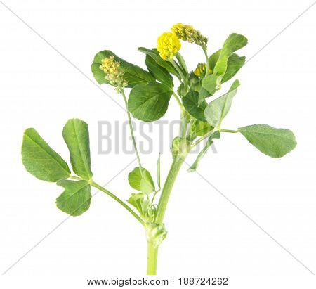 Hop trefoil (Medicago lupulina) isolated on white background. Medicinal plant