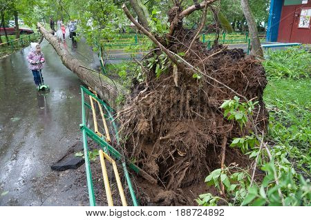 MOSCOW - MAY 29: Tree broken by a hurricane and little girl on Konenkova Street on May 29 2017 in Moscow. 11 people died during this hurricane.