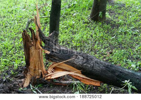 MOSCOW - MAY 29: Tree broken by a hurricane on Konenkova Street on May 29 2017 in Moscow. 11 people died during this hurricane.