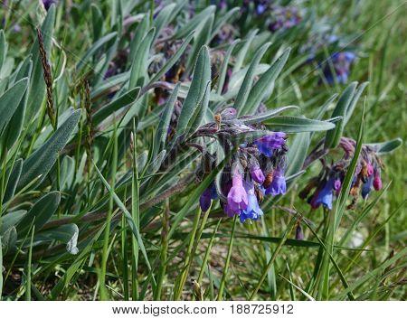 Leafy Bluebell wildflowers (Mertensia oblongifolia), growing at the trailhead for Mt. Borah in Idaho's Lost River Mountain Range.