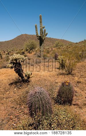Although Saguaros dominate the scenery in Phoenix Sonoran Preserve there lots of other species of cacti present