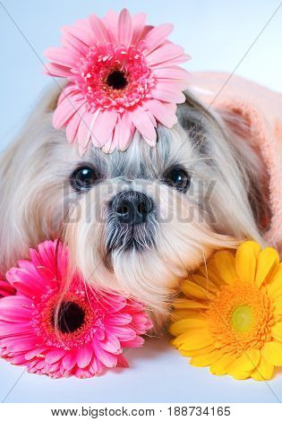 Shih tzu dog lying with flowers. Relaxing and spa concept.