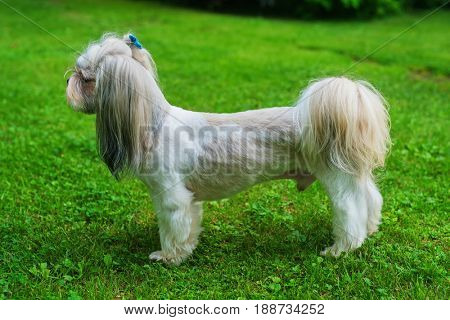 Shih tzu dog with short haircut standing on green lawn background