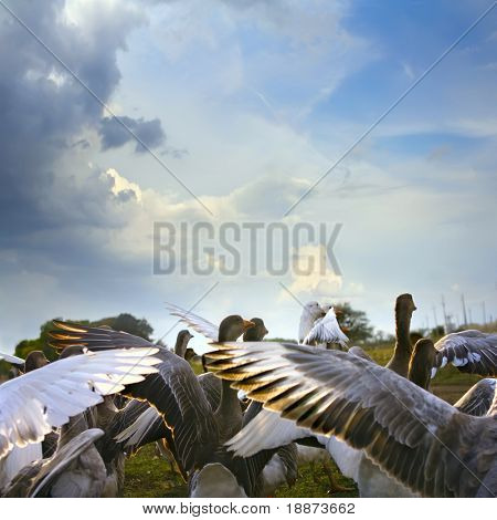 wild goose chase on green lawn with daisies and blue cloudy sky background poster