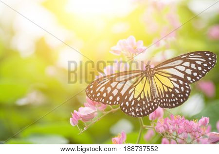 Close up butterfly. Parantica aspasia (Yellow Glassy Tiger) feeding on flower.