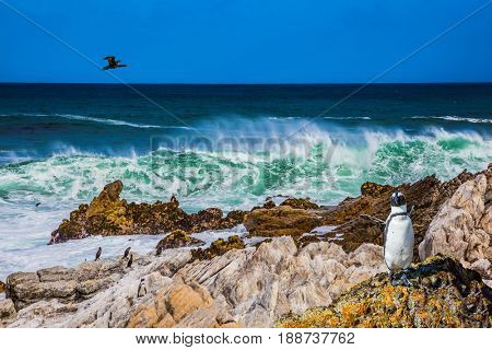 Large cormorant flies over the african penguin. The boulders and algae in Boulders Penguin Colony National Park, South Africa. The concept of  ecotourism
