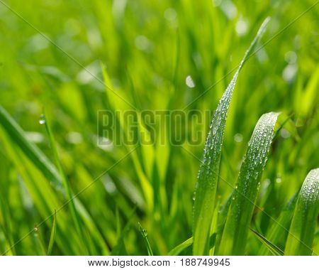 Close up of field grass with dewdrops.