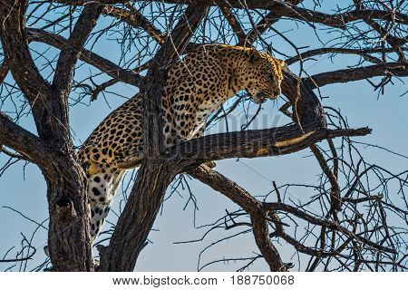 African spotted leopard after feeding. Travel to Namibia. The concept of exotic and extreme tourism. Well fed leopard resting on a tree