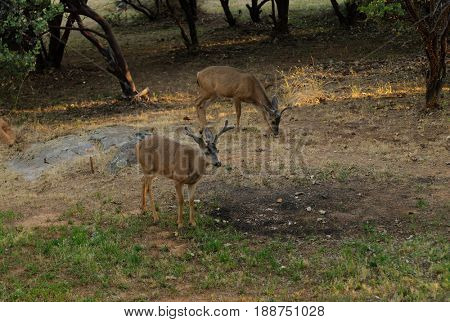 View of a California Black-tailed buck in velvet from a tree stand