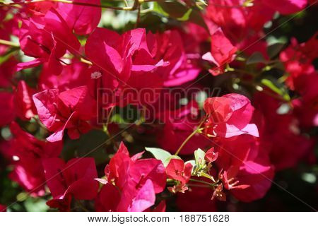 Hot Pink Bougainvillea flowers. Background image of hot pink bougainvillea flowers for backgrounds and textures.