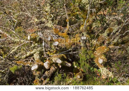 Different types of leaflike Lichen and moss growing on dead branches in forest at Cradle mountain, Lake St Clair National Park. Autumn in Tasmania, Australia