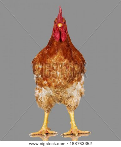 Brown rooster on gray background, live chicken, one closeup farm animal