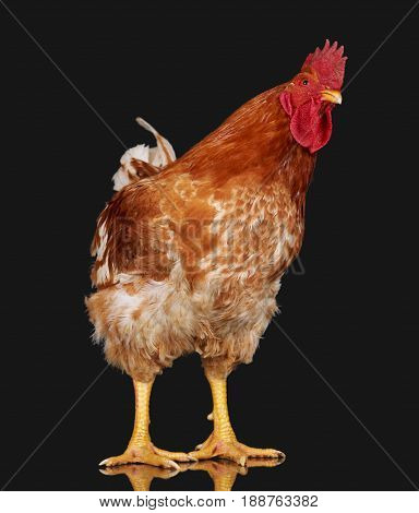 Brown rooster on black background, live chicken, one closeup farm animal