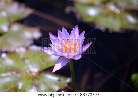 water lily in a pond of fresh water
