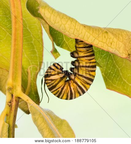 Monarch caterpillar hanging upside down in J-formation just before pupation; with his tentacles deflated and raggedy looking