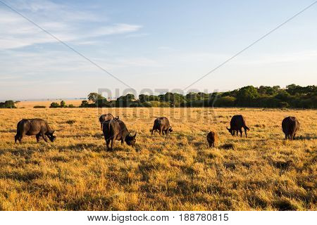 animal, nature and wildlife concept - buffalo bulls with calf grazing in maasai mara national reserve savannah at africa