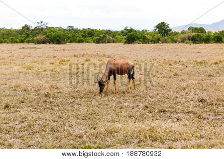 animal, nature and wildlife concept - topi antelope grazing in maasai mara national reserve savannah at africa