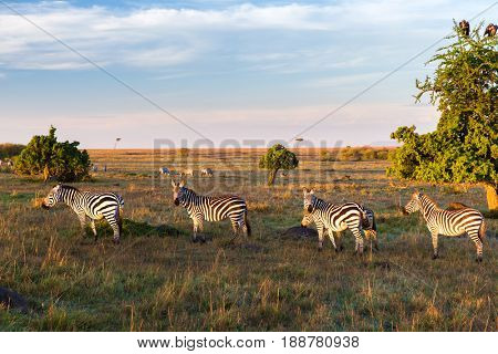 animal, nature and wildlife concept - zebras herd grazing in maasai mara national reserve savannah at africa