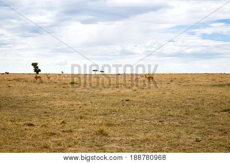 animal, nature and wildlife concept - group of gazelles grazing in maasai mara national reserve savannah at africa