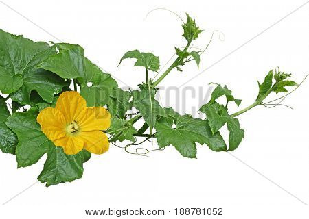 Winter melon squash Vines with leaves and flowers isolated on white background