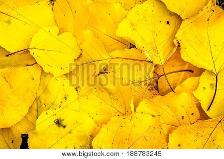 Autumn leaves in seasonal colours, bright yellow